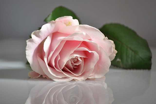 rose-rozovaia