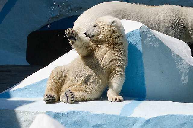 belye-medvedi-novosibirskogo-zooparka