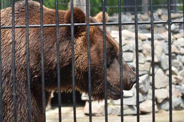 medved-v-zooparke