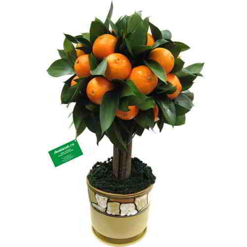 mandarinovoe-derevo