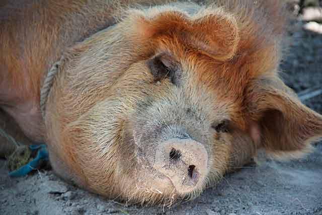 сонная свинья