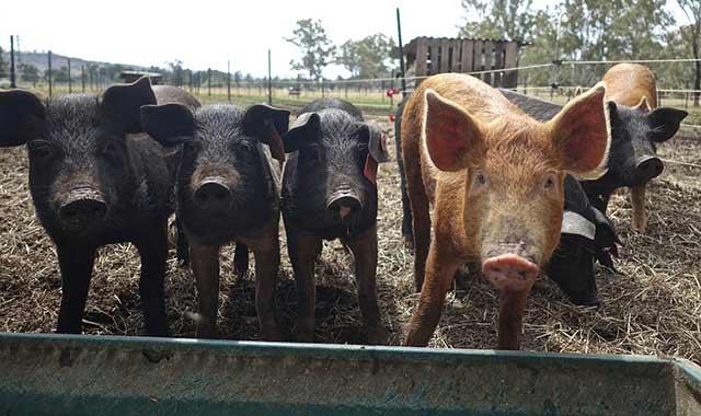 черные свиньи