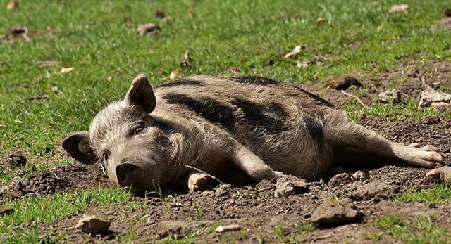 свинья лежит