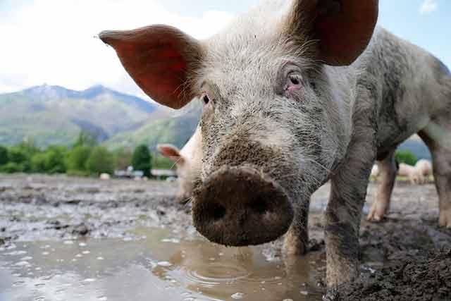 свинья в луже