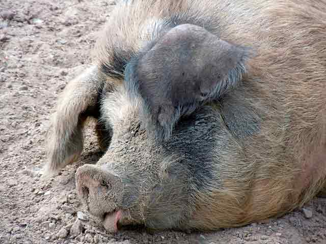 рыло свиньи фото