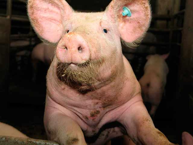 фото глаза свиньи