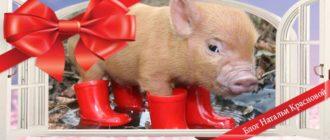 фото свиньи - символа 2019 года