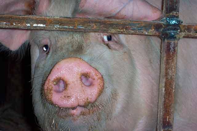свинья в клетке