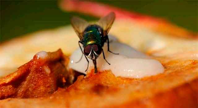 муха на еде