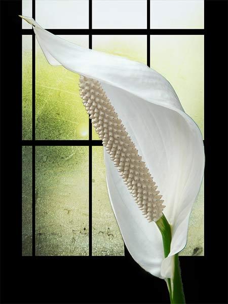 """Как ухаживать за цветком """"Женское счастье"""", чтобы он цвел"""