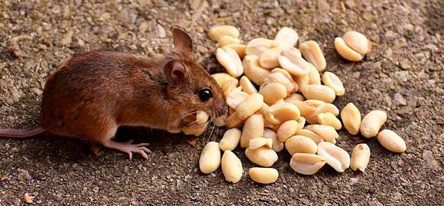 грызун с орешками