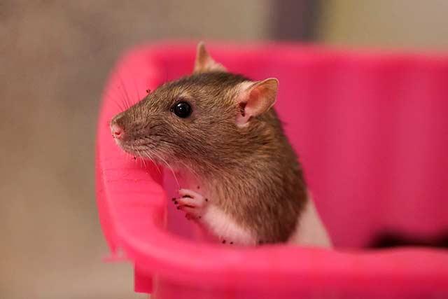 любопытная крыса