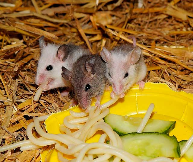мышка с лапшой
