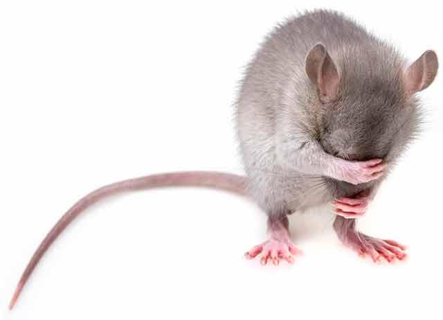 мышка плачет