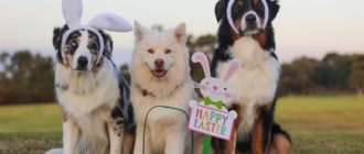 собаки с ушками зайки